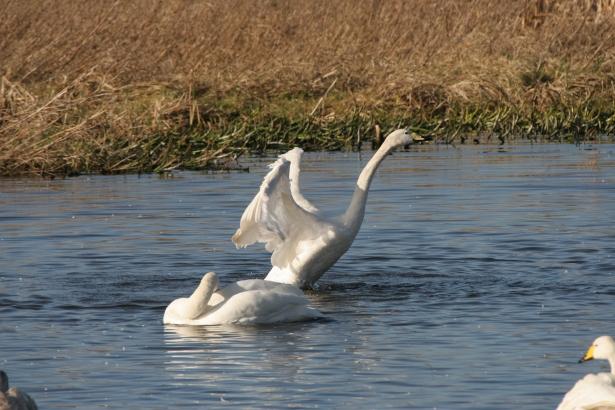 Andy Whelan. Swans